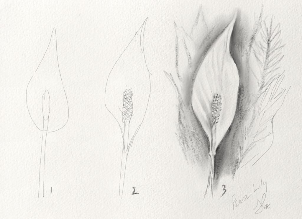 How to draw a Peace Lily