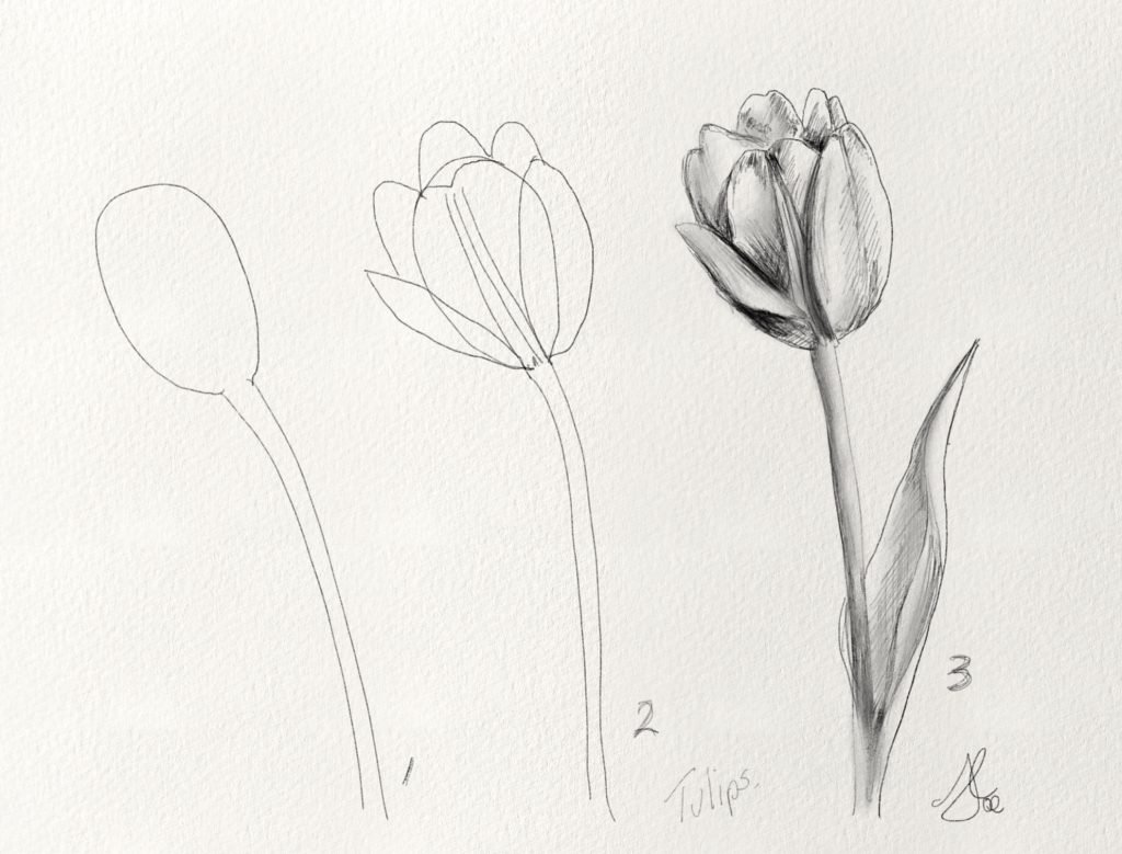 How to draw Tulips